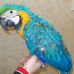 macaw bird , 6 Cute Baby Macaws In Birds Category