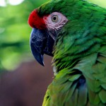 macaw birds , 7 Good Macaw Lifespan In Birds Category