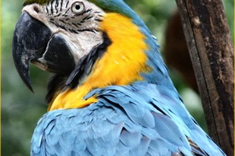 Macaw Blue And Gold , 8 Good Blue And Gold Macaws In Birds Category