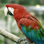 macaw for sale , 9 Beautiful Green Wing Macaw In Birds Category