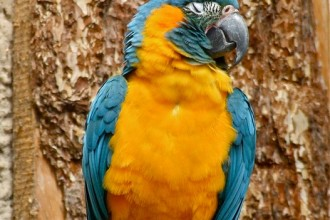 Macaw Parrot , 7 Awesome Blue Throated Macaw In Birds Category