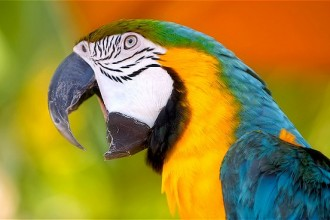 Macaw Parrot , 7 Cool Macaw Facts For Kids In Birds Category