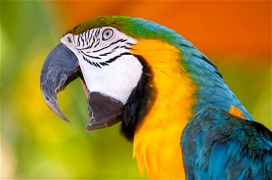 Birds , 7 Cool Macaw Facts For Kids : Macaw Parrot