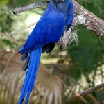 macaw parrot , 7 Cool Hyacinth Macaws In Birds Category