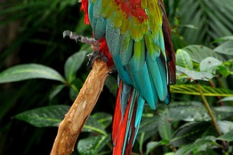 Macaw Scarlet , 8 Cool Green Wing Macaw In Birds Category