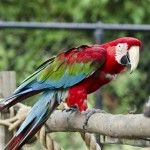 macaw scarlet , 9 Beautiful Green Wing Macaw In Birds Category