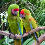 macaws Jurong Bird , 8 Wonderful Types Of Macaws In Birds Category