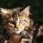 maine coon , 7 Popular Coon Cat Pictures In Cat Category