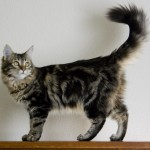 maine coon cat , 7 Popular Coon Cat Pictures In Cat Category