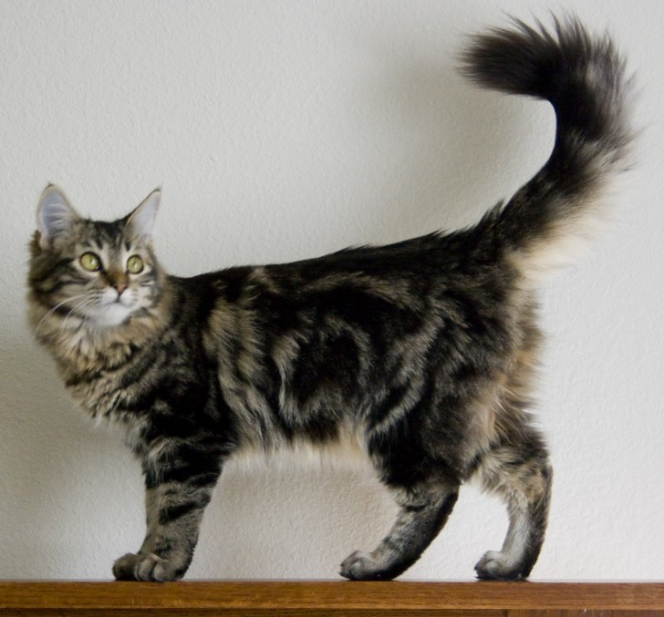 Cat , 7 Popular Coon Cat Pictures : Maine Coon Cat