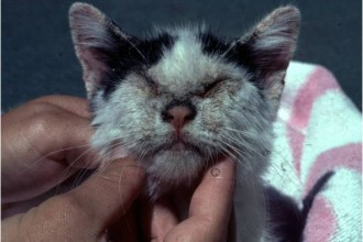 mange cat in Laboratory