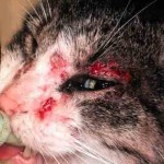 mange for cats , 5 Mange In Cats Pictures You Should Consider In Cat Category