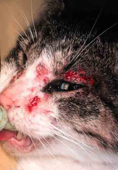 Cat , 5 Mange In Cats Pictures You Should Consider : Mange For Cats