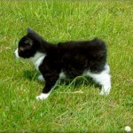 manx cat , 8 Beautiful Pictures Of Manx Cats In Cat Category