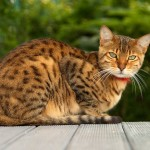 marbled bengal cat , 7 Nice Bengal Cats Pictures In Cat Category