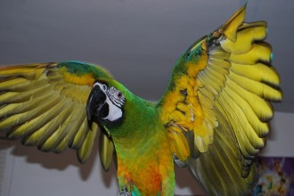 Miligold Macaw , 8 Wonderful Miligold Macaw In Birds Category