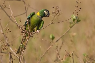 Military Macaw , 7 Gorgeous Yellow Collared Macaw In Birds Category