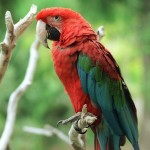 military macaw , 8 Charming Green Wing Macaw In Birds Category