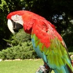 military macaw , 9 Beautiful Green Wing Macaw In Birds Category
