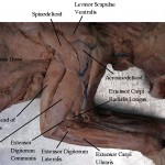 muscles , 7 Amazing Cat Muscle Dissection Pictures In Cat Category