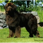 newfoundland dog , 7 Charming Newfoundland Dog Pictures In Dog Category