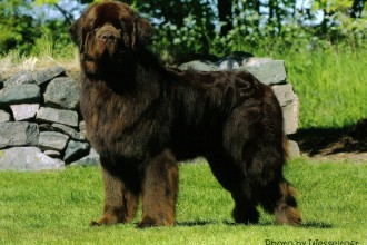 newfoundland dog in Cat