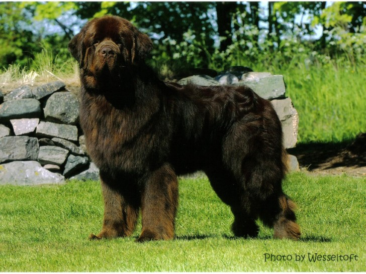 Dog , 7 Charming Newfoundland Dog Pictures : Newfoundland Dog