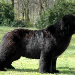 newfoundland dogs , 7 Charming Newfoundland Dog Pictures In Dog Category