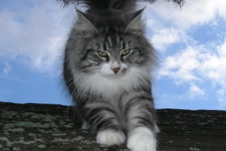 Norwegian Forest Cats , 7 Stunning Norwegian Forest Cat Pictures In Cat Category