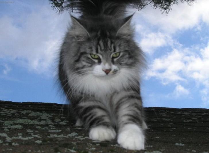 Cat , 7 Stunning Norwegian Forest Cat Pictures : Norwegian Forest Cats