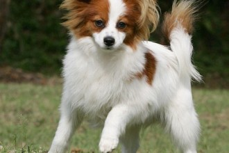 Papillon , 4 Beautiful Pictures Of Papillon Dogs In Dog Category