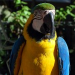 parrot , 7 Top Mccaw Parrot In Birds Category