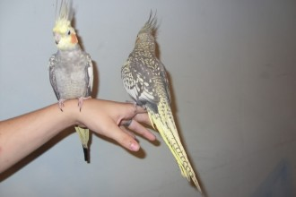 Parrot Birds , 7 Unique Do Cockatiels Talk In Birds Category