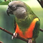 parrot for sale , 5 Nice Senegal Parrot In Birds Category