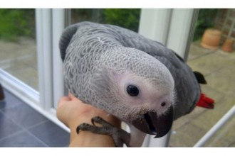Parrot , 7 Cute Baby African Grey Parrot In Birds Category