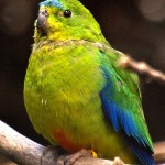 parrots , 7 Lovely Orange Bellied Parrot In Birds Category