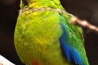Parrots , 7 Lovely Orange Bellied Parrot In Birds Category