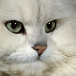 persian cat breeders , 7 Beautiful Pictures Of Persian Cats In Cat Category