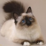 persian cat pictures , 7 Beautiful Pictures Of Persian Cats In Cat Category