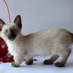 persian cats , 5 Cute Munchkin Cat Pictures In Cat Category