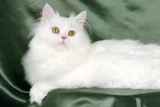 Persian Kitten , 7 Beautiful Pictures Of Persian Cats In Cat Category