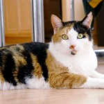 picture cat , 7 Gorgeous Pictures Of Calico Cats In Cat Category