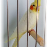 picture of cockatiel birds , 7 Good Cockatiel Cottage In Birds Category