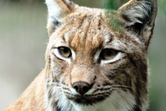 Picture Of Lynx Cat , 5 Gorgeous Pictures Of Lynx Cats In Cat Category