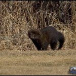 pictures of a fisher cat , 7 Top Fisher Cat Pictures In Cat Category