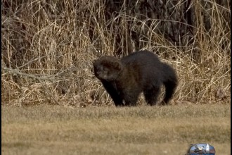 pictures of a fisher cat in Amphibia