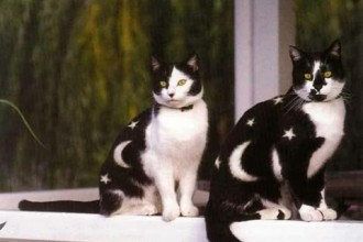 Pictures Of Cat , 6 Charming Pictures Of Tuxedo Cats In Cat Category