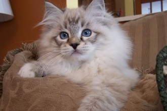 pictures of ragdoll cats in Butterfly