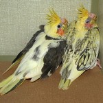 pied and whiteface split cockatiels , 6 Nice Cockatiel Breeders In Birds Category