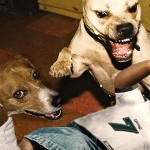 pitbull dog picture , 6 Popular Michael Vick Dog Fighting Pictures In Dog Category